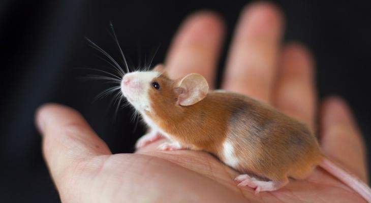 Декоративные мышки